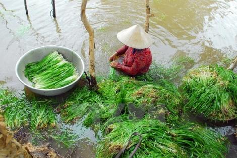 Đặc sản hẹ nước trên vùng lúa Đồng Tháp Mười