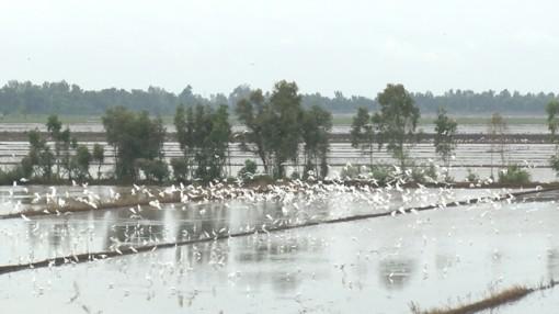 Hàng ngàn con cò trắng bay về tìm thức ăn trên các cánh đồng