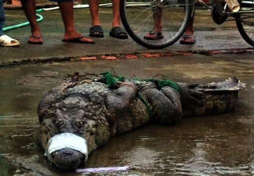 Cà Mau: Nửa tháng, phát hiện 4 con cá sấu sổng chuồng