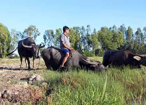 Hậu Giang: Cảnh giác với bệnh viêm da nổi cục trên trâu, bò
