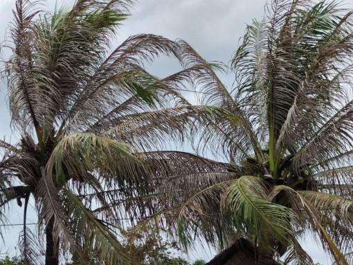 Diện tích vườn dừa bị nhiễm sâu đầu đen tăng nhanh ở tỉnh Bến Tre